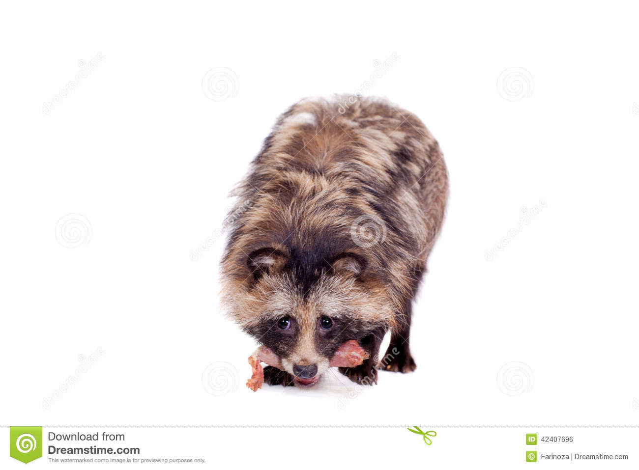 Raccoon Dog On White Background Stock Photo.