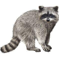 Man fighting raccoon clipart.