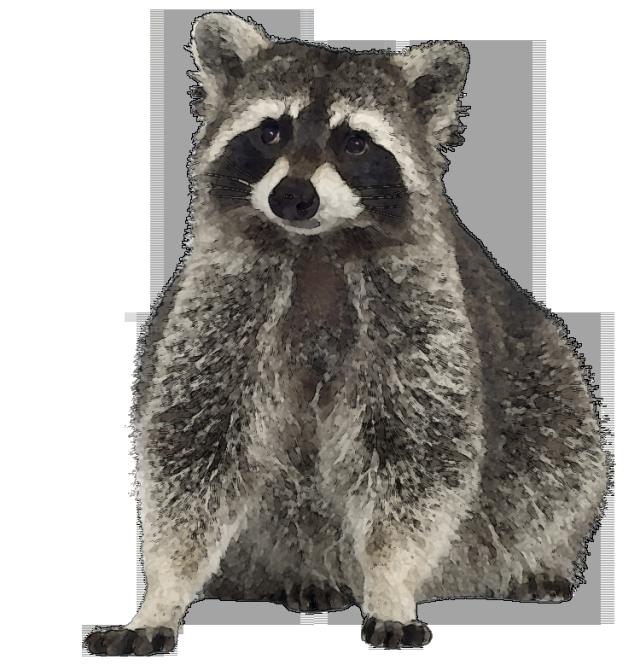 Free Raccoon Clipart Image.