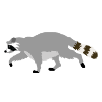 Cute Raccoon Clipart.