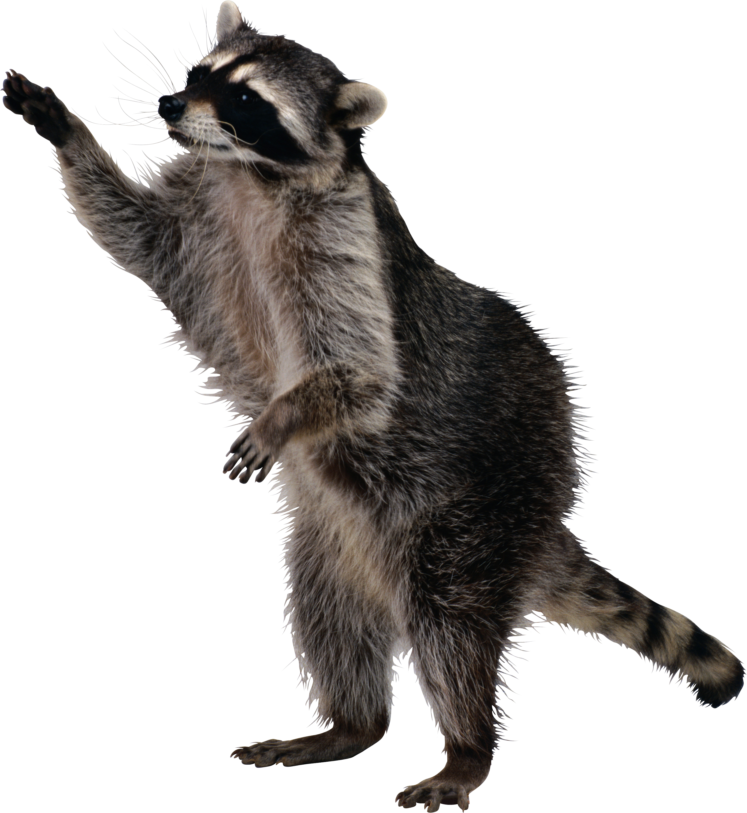 Raccoon PNG images free download.