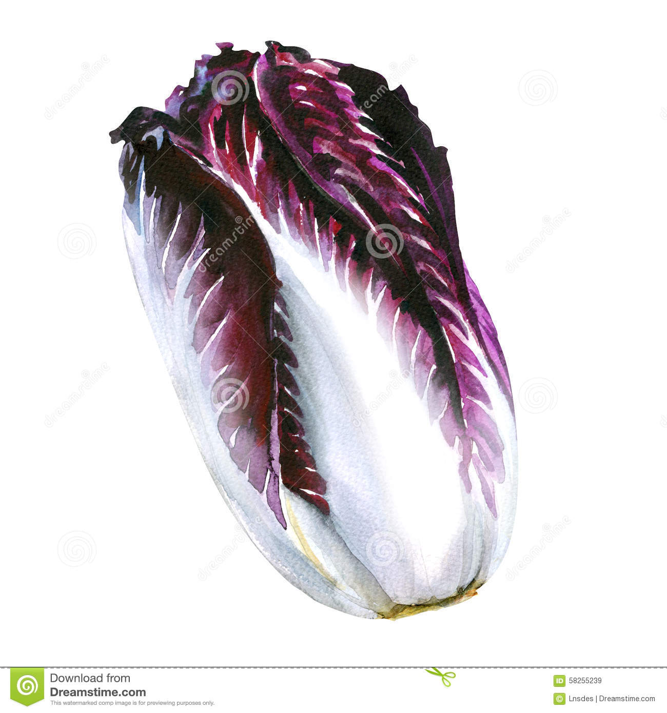 Radicchio Stock Illustrations.