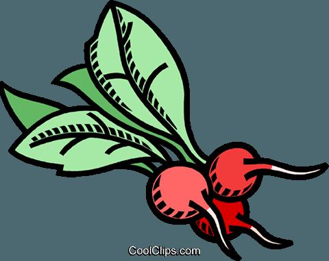 Radieschen, Gemüse Vektor Clipart Bild.