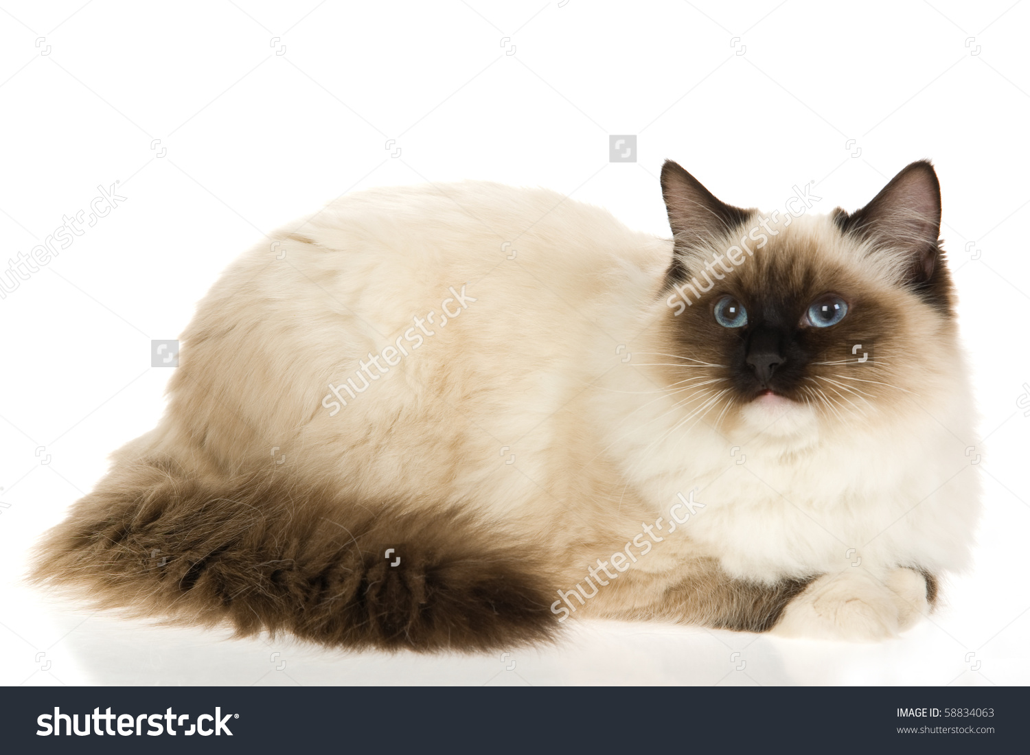 Sealpoint Mitted Ragdoll Cat On White Stock Photo 58834063.