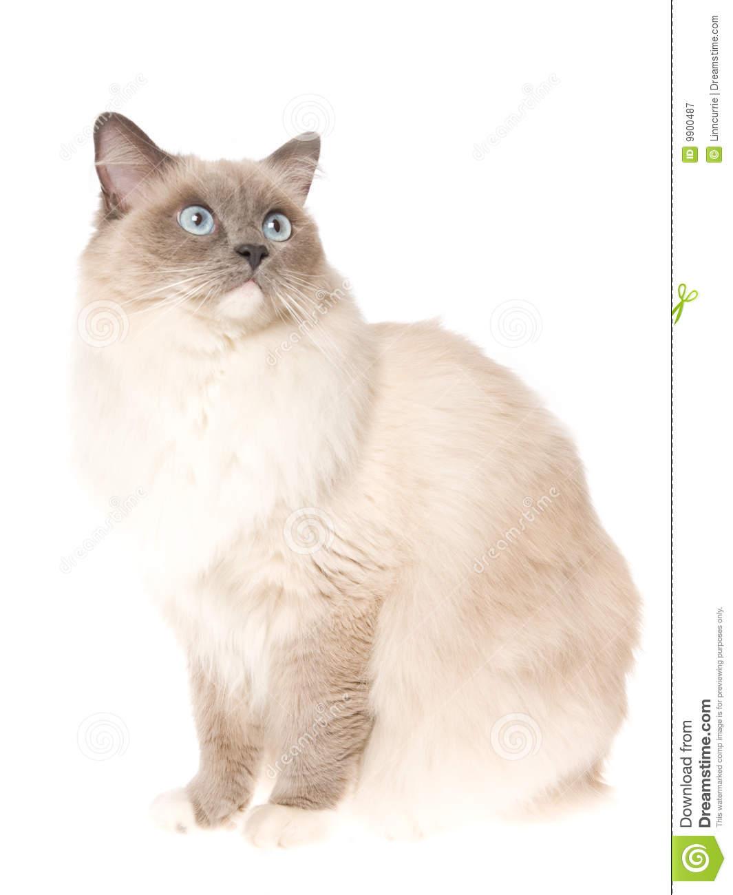 Ragdoll Cat Clip Art.