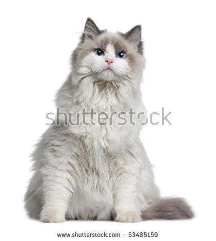 "ragdoll Cat\"" Stock Photos, Royalty."