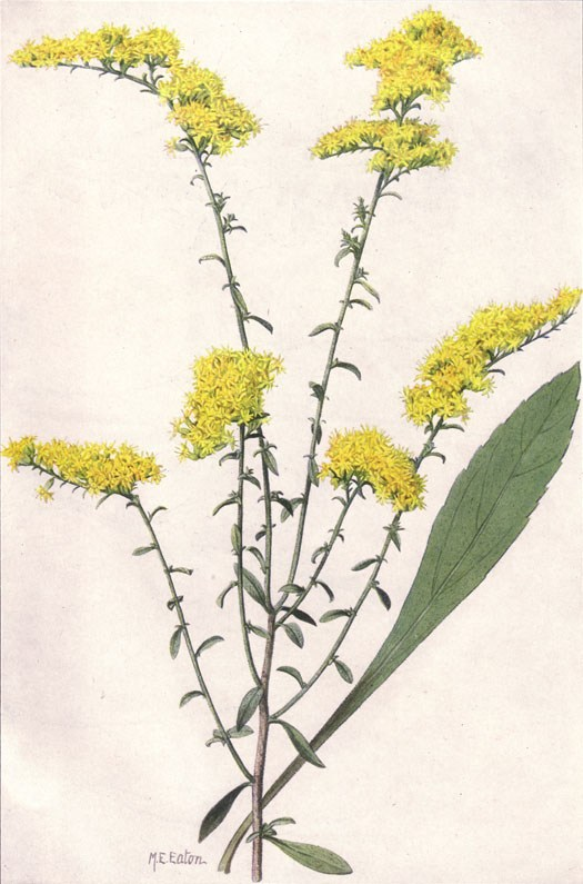 Can You Tell the Difference Between Ragweed and Goldenrod.