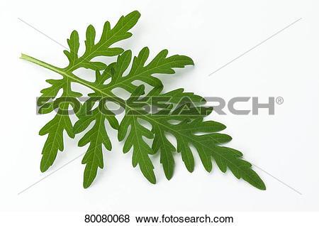 Pictures of DEU, 2008: Annual Ragweed, Common Ragweed (Ambrosia.