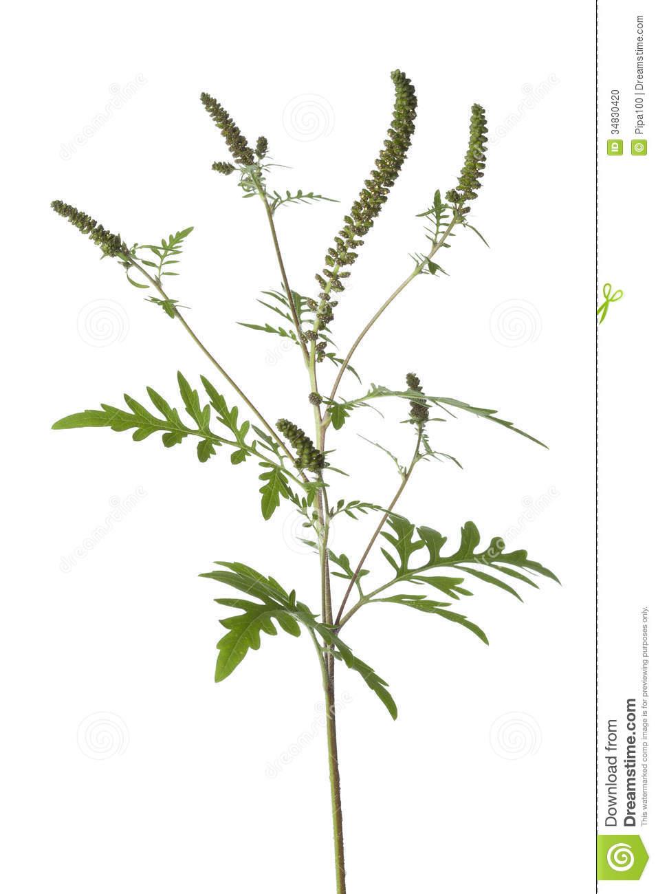 Common Ragweed Plant Stock Photo.