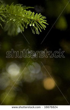 Alder Tree Stock Photos, Royalty.