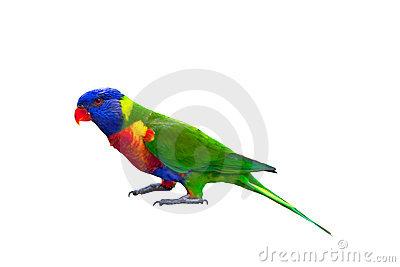 Rainbow Lorikeet Stock Photos, Images, & Pictures.