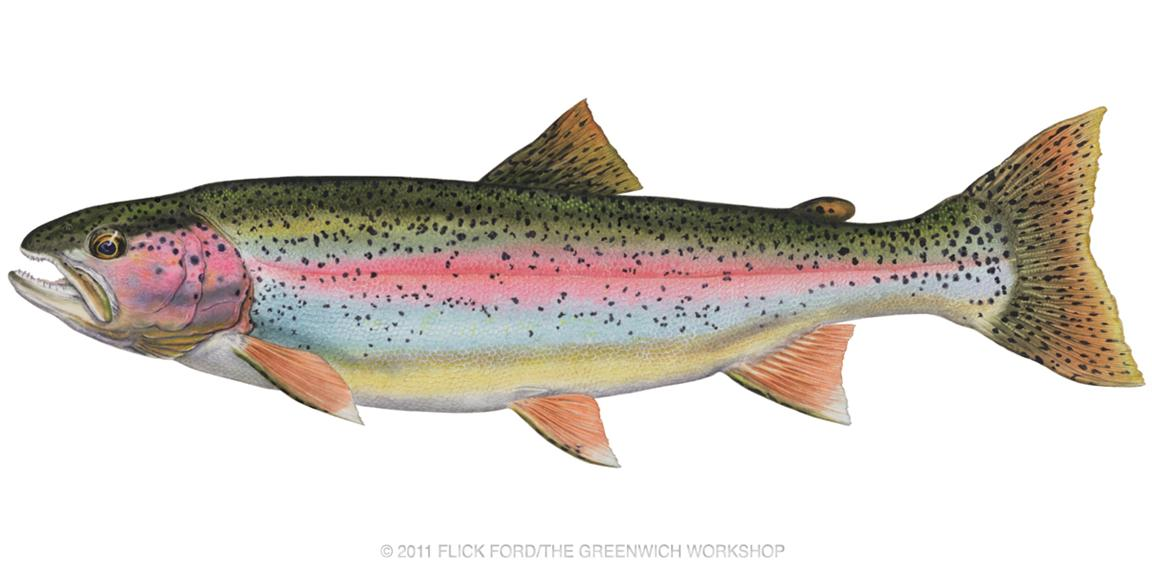 Rainbow trout clip art.