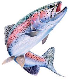 Rainbow trout!.