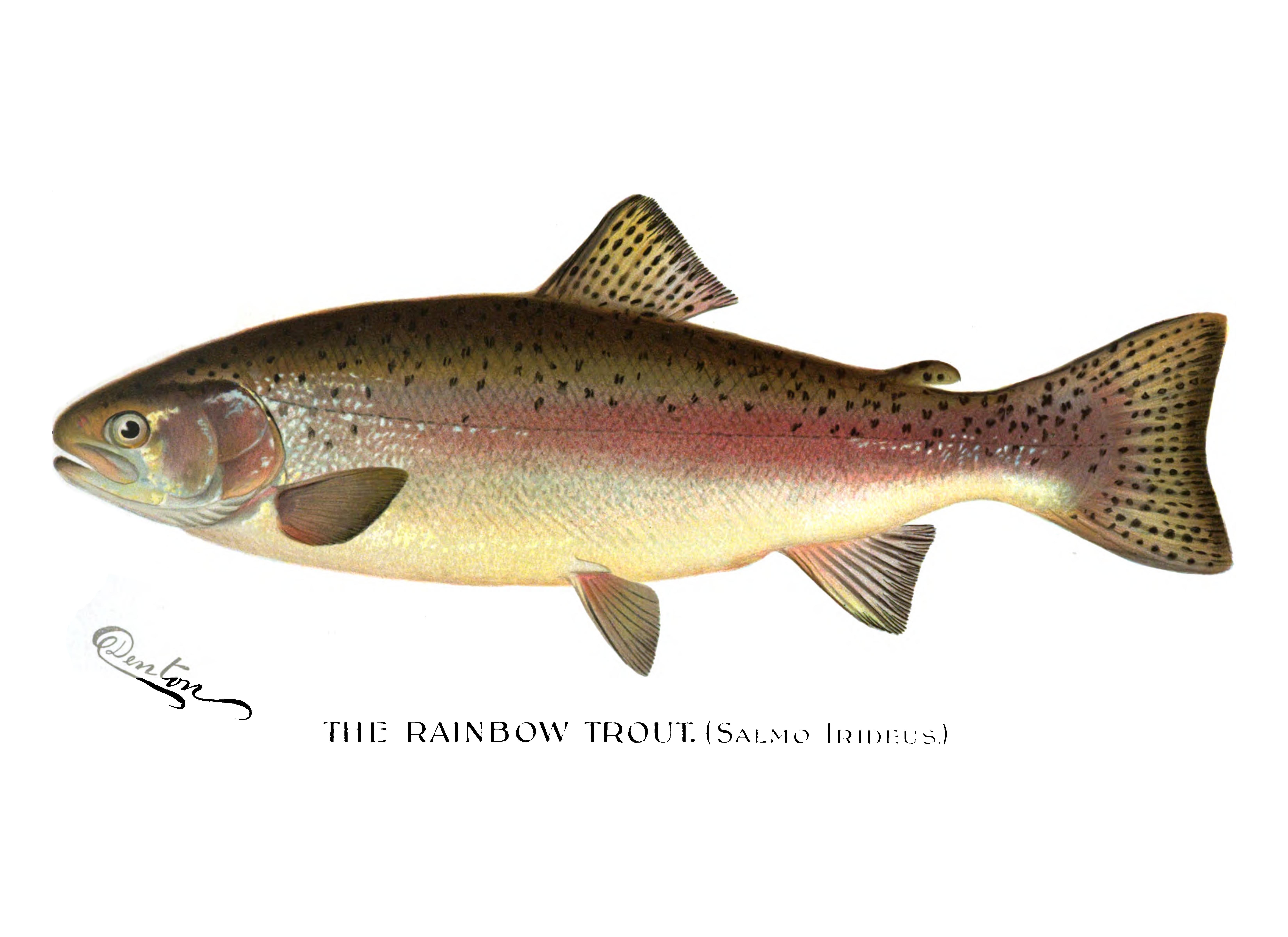 File:Denton Rainbow Trout 1896.png.