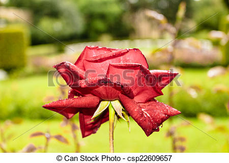 Stock Images of Raindrops on Red Rose: green leaves bushes and.
