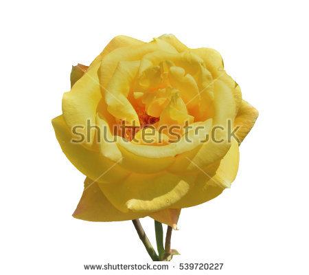 Rose Raindrops Stock Photos, Royalty.