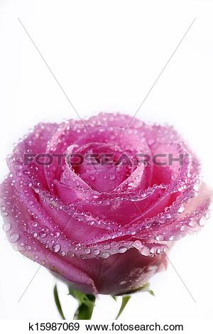 Stock Illustration of rose with raindrops k15987069.