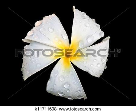 Pictures of White Plumeria or Frangipani FLower with Raindrops on.