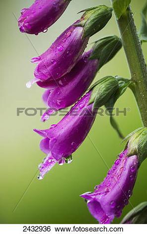Stock Images of Raindrops cling to Foxglove petals; Astoria.