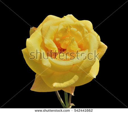 Beautiful Raindrop Rose Stock Photos, Royalty.