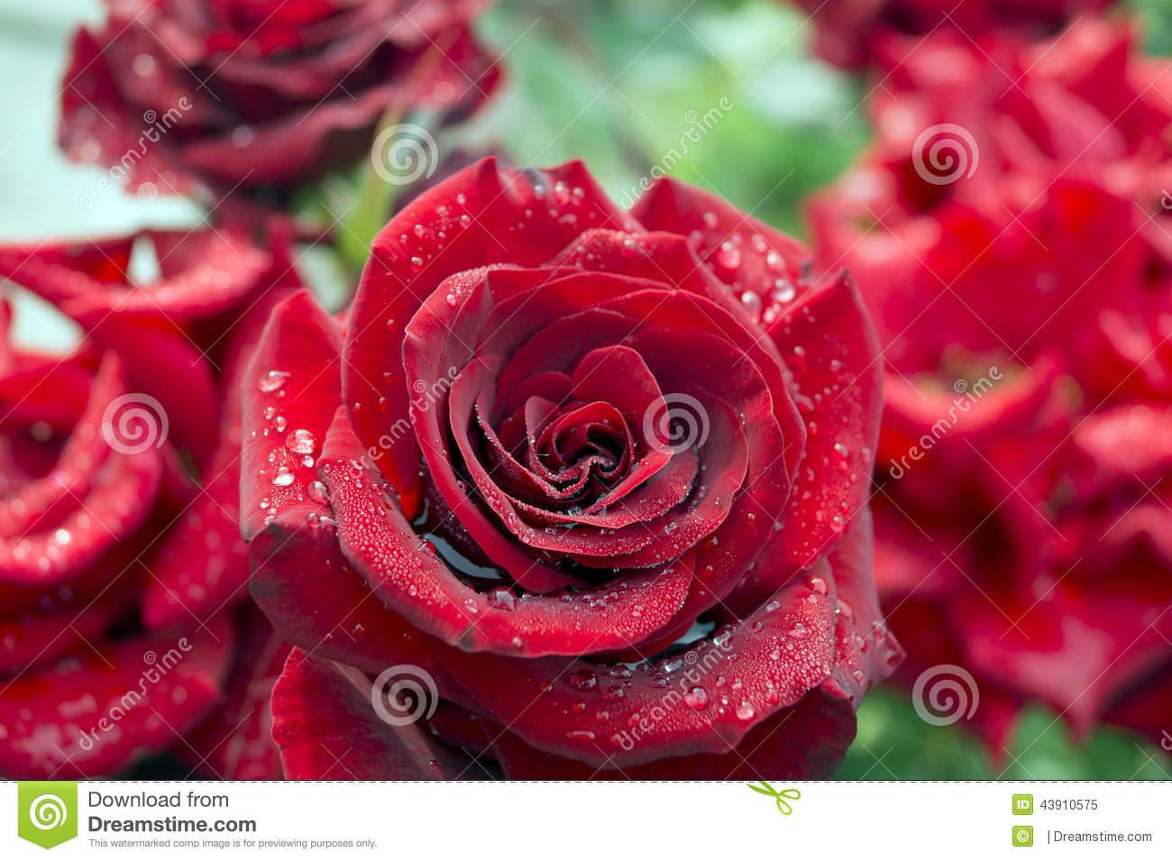 Raindrops On Rose Petals Stock Photo.