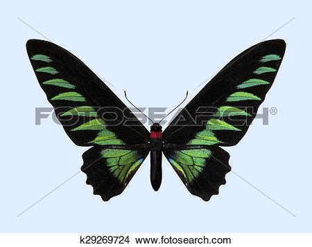 Drawings of Rajah Brooke's Birdwing.