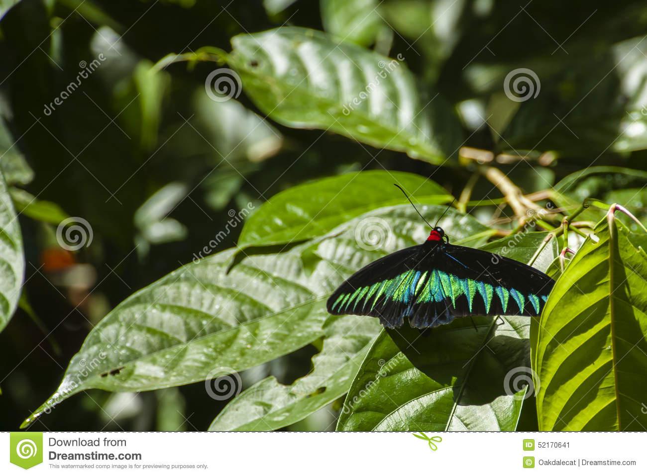 Rajah Brookes Birdwing Butterfly Of Borneo Stock Photo.