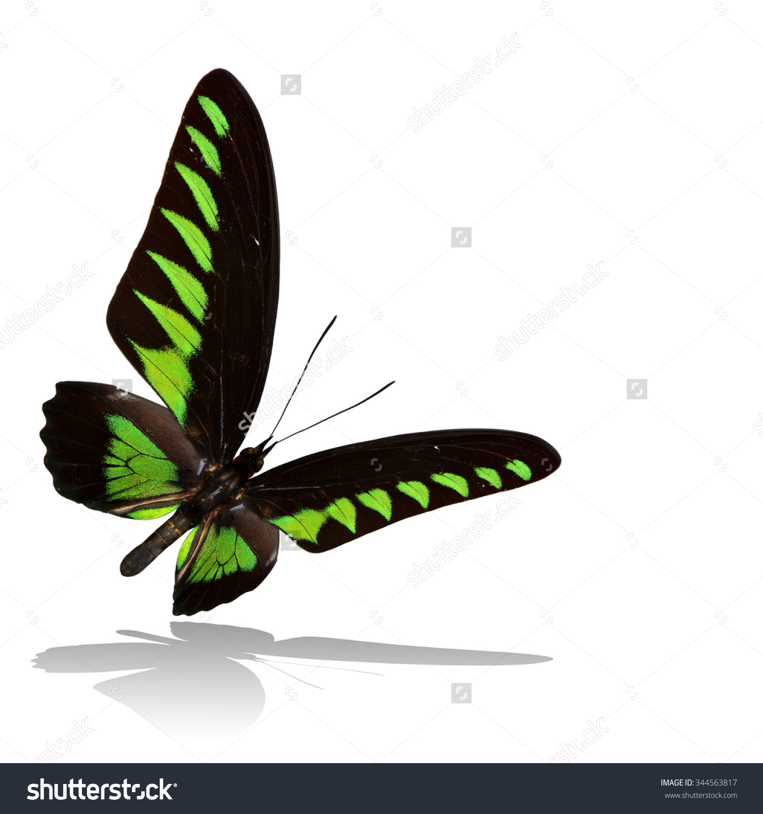 Beautiful Flying Black Green Butterfly Rajah Stock Photo 344563817.
