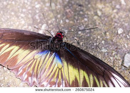 """""""trogonoptera Brookiana"""" Stock Photos, Royalty."""