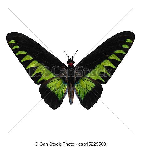 Stock Illustration of Rajah Brooke's Birdwing.