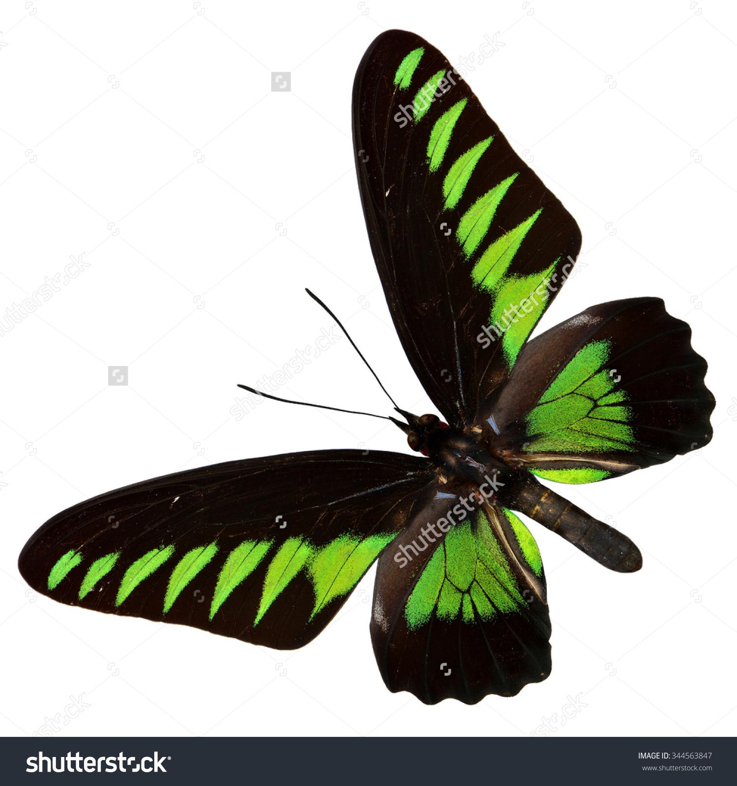 Rajah Brookes Birdwing Trogonoptera Brookiana Black Stock Photo.