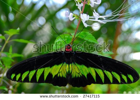 Vector Images, Illustrations and Cliparts: Rajah Brooke's Birdwing.