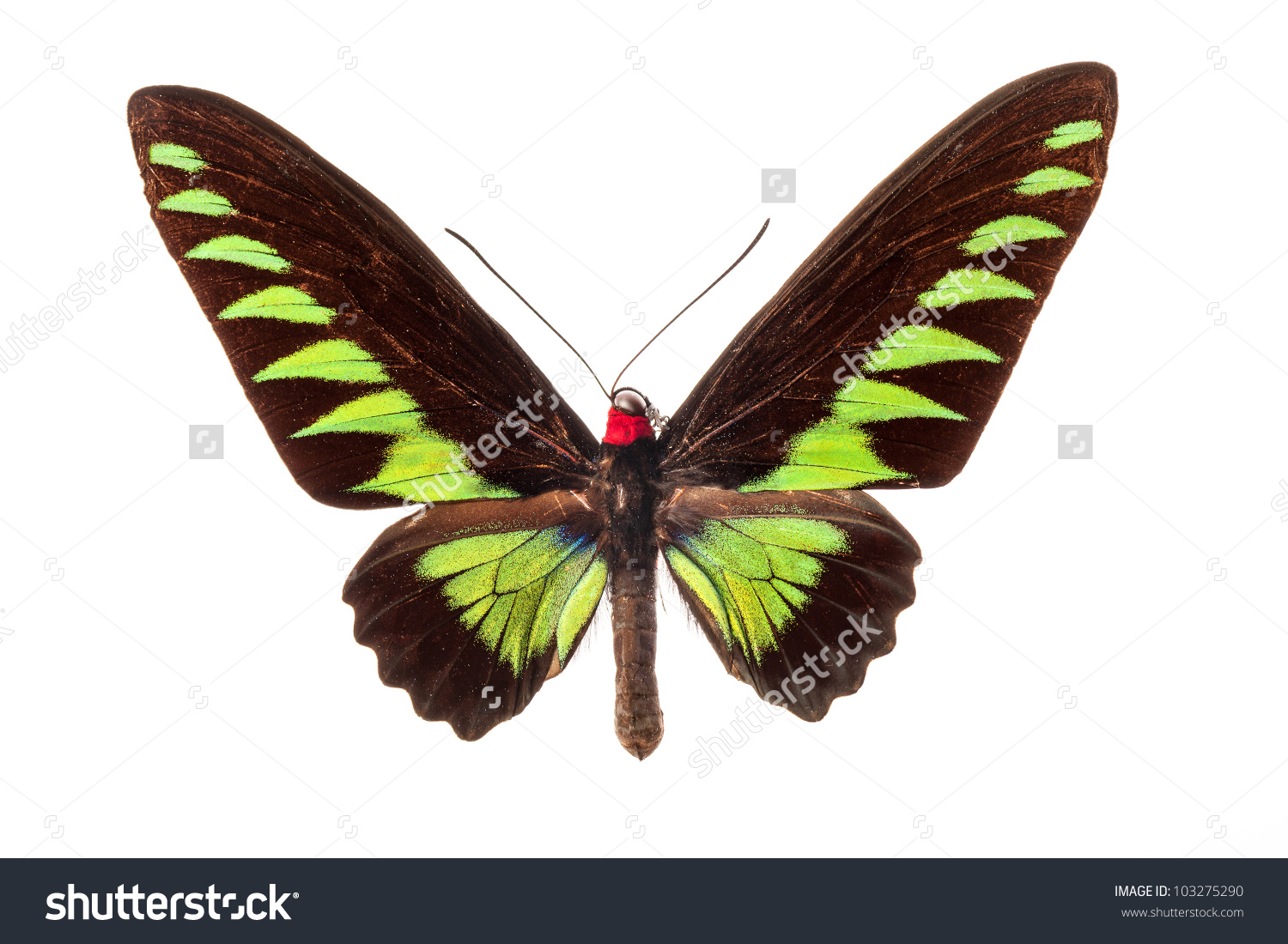 The Rajah Brooke'S Birdwing Butterfly On White Stock Photo.