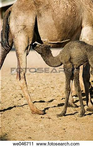 Stock Photography of Baby camel drinking milk from his mother at.
