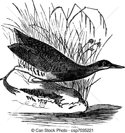 Vector Clip Art of Rallus elegans or King rail vintage engraving.