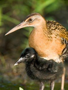Scientists look for surviving Eskimo curlew birds.