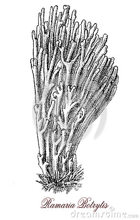 Ramaria Botrytis Stock Illustrations.