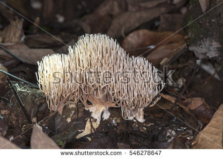 Ramaria Stock Photos, Royalty.