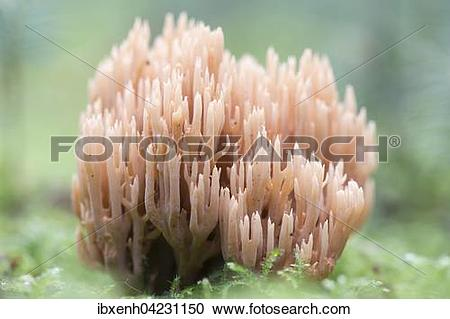 Stock Photography of Ramaria eumorpha, Emsland, Lower Saxony.