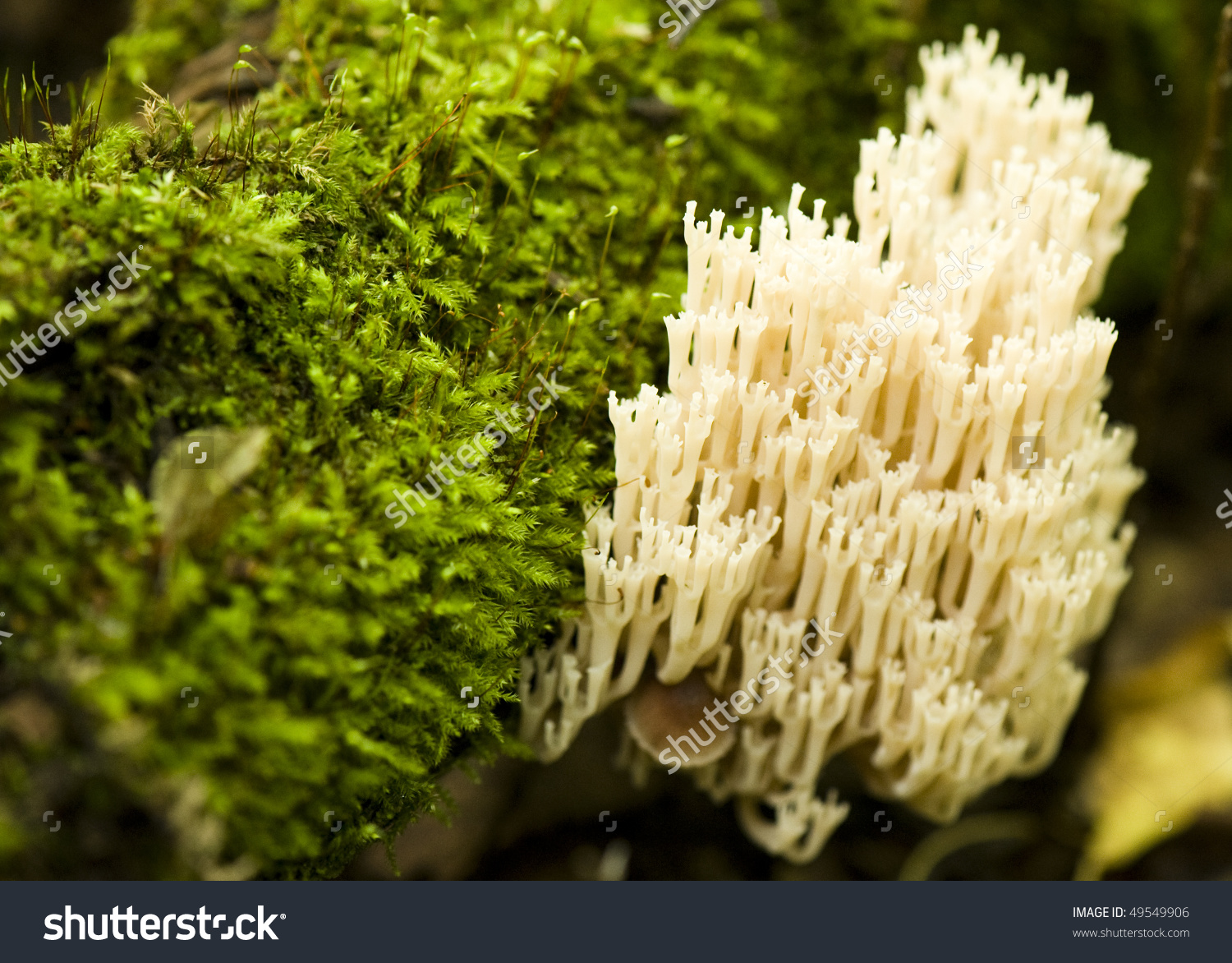 Coral Mushroom Ramaria Flava Changle Stock Photo 49549906.