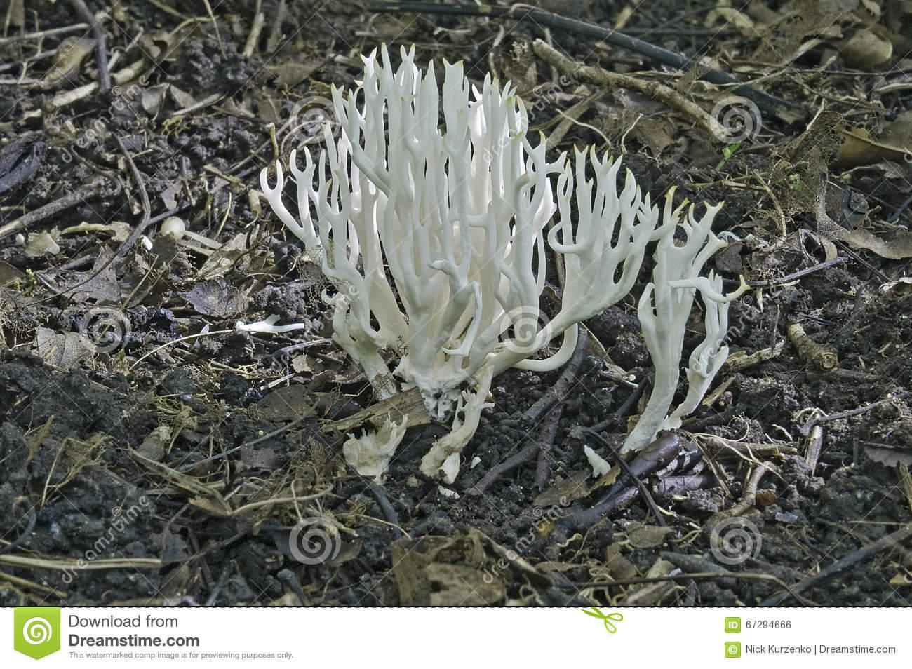 White Coral (Ramariopsis Kunzei) Stock Photo.