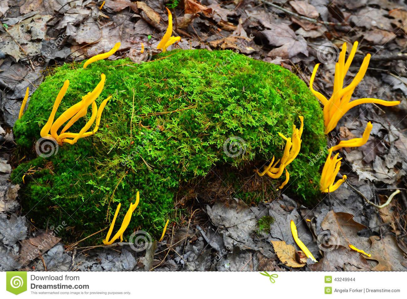 Orange Spindle Coral Fungi (Ramariopsis Laeticolor) Stock Photo.