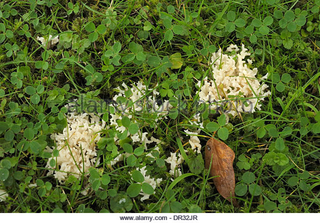 White Coral Fungus Stock Photos & White Coral Fungus Stock Images.