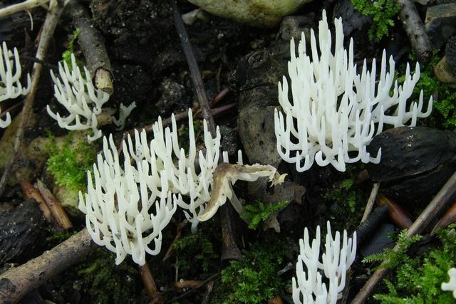 Ivory Coral (Ramariopsis kunzei) Biopix photo/image 60305.