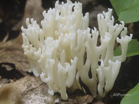 White Coral Mushroom (Ramariopsis Kunzei), North America.