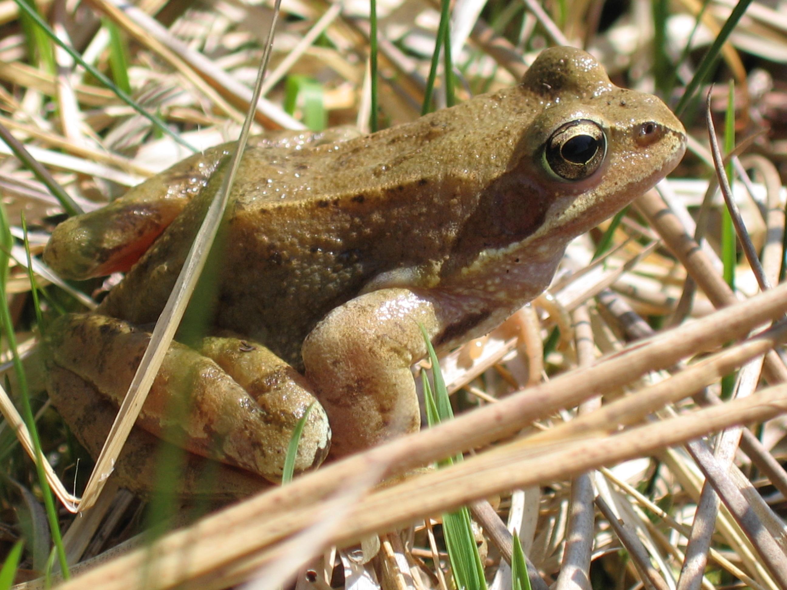 Grasfrosch Rana Temporaria.