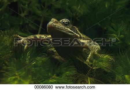 Stock Photography of Juniors, Rana, Rana temporaria, Tyrophagus.