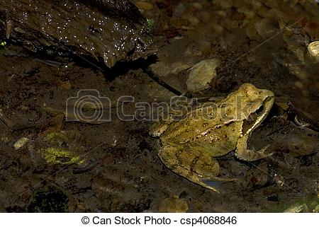 Stock Image of Common brown frog (Rana temporaria).