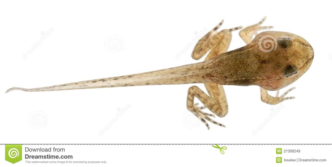 Common Frog, Rana Temporaria Tadpole Royalty Free Stock Image.