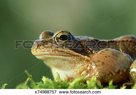 Picture of european common frog, rana temporaria, germany.